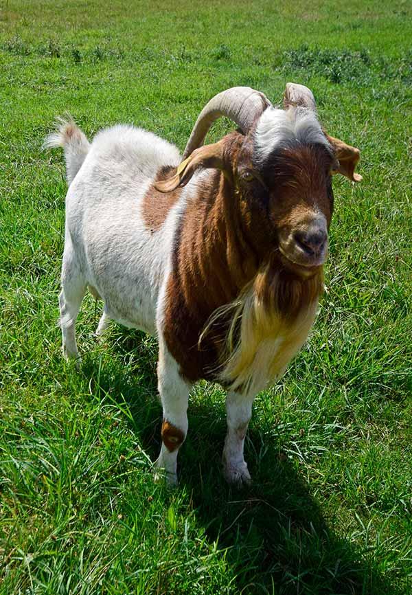 Weithin bekannt ist Ziegenbock Joggili wegen seines Paten Guido Wolf