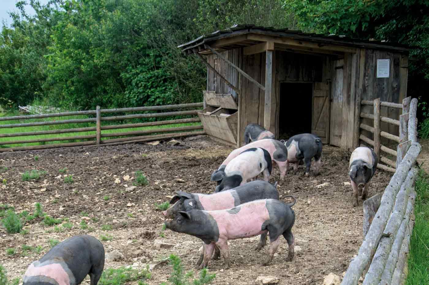 Schweine in umzäunter Weide