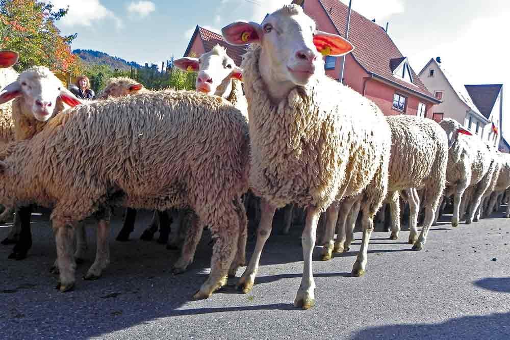 Schafe beim Albabtrieb