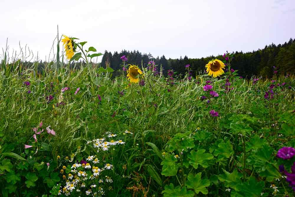 Donaufelsengarten Sonnenblumen