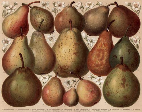 Birnensorten nach der Systematik vom Eduard Lucas, Quelle: wikimedia