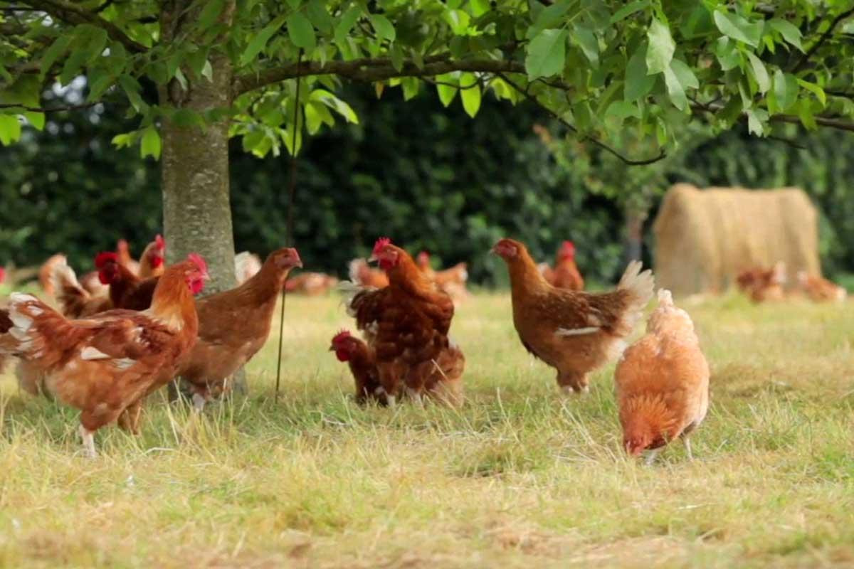 Label Rouge Hähnchen unter Bäumen auf Wiese