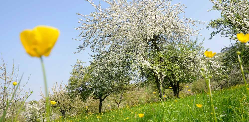 Das Streuobstparadies im Frühjahr: eine blühende Landschaft